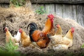 Happy chickens frolicking in hay.