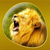 A male lion roars, with his head in the air