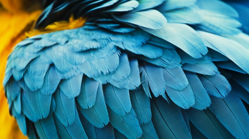 Close-up photo of blue and yellow parrot feathers.