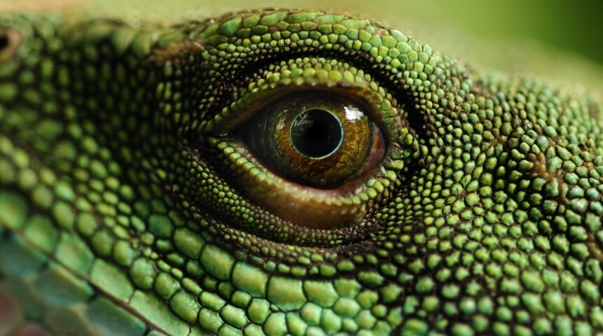 Close-up photo of a reptile eye surrounding by green scales.